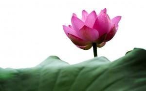 lotus-614495_1280