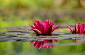 water-lily-1442497_1920