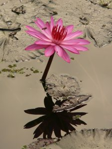 water-lily-4464_1920